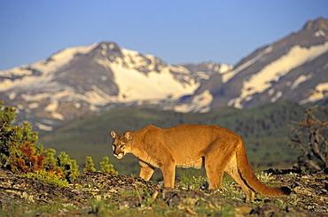 Tk0588, Thomas Kitchin; Cougar/Mountain Lion/Puma. Male In Alpine Meadow. Summer. Rocky Mountains. Felis Concolor.