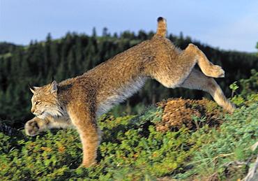 Tk0610, Thomas Kitchin; Lynx Running. Summer. Rocky Mountains. North America. Felis Lynx Canadensis.