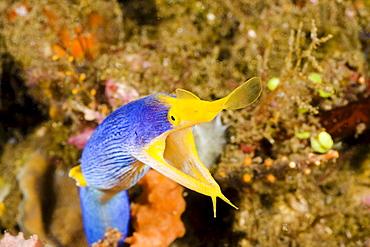 Indonesia, Bali, Blue ribbon eel (Rhinomuraena quaesita) head peeks from coral.