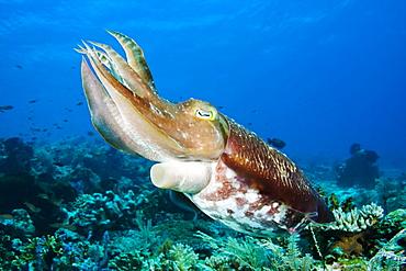 Indonesia, Komodo, Cuttlefish (Sepia Latimanus).