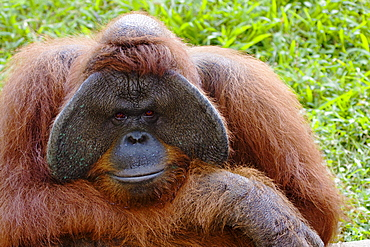 Indonesia, Closeup portrait of an orangutan, Pongo pygmaeus.