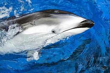 Canada, Pacific white-sided dolphin, Legenorhynchus obliquidens.