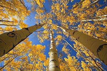 Colorado, Near Steamboat Springs, Buffalo Pass, Yellow aspen tree canopy.
