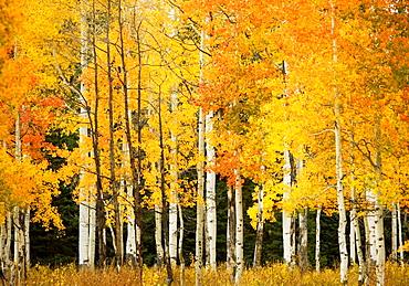 Colorado, Near Steamboat Springs, Buffalo Pass, Line of fall-colored aspen trees.