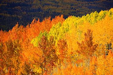 Colorado, Near Steamboat Springs, Autumn aspen trees on Buffalo Pass.