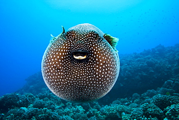 Hawaii, Spotted Pufferfish expanded floating in blue ocean (Arothron meleagris).