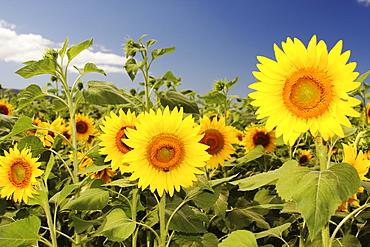 Hawaii, Oahu, North Shore, Sunflower field.