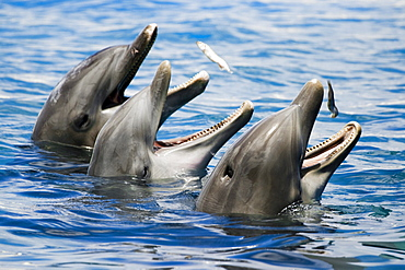 Hawaii, Oahu, Sea Life Park, Three Bottlenose Dolphins catching their meal.