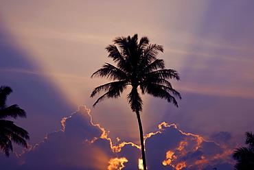 Hawaii, Maui, Silhouette of a palm tree at sunset.