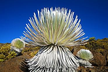 Hawaii, Maui, Haleakala National Park, Young silversword plant.