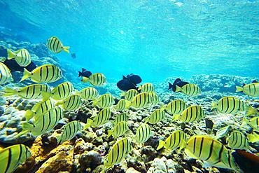 Hawaii, Maui, Makena, Ahihi Kinau Natural Area Reserve, School of Manini or Convict Tang fish (Acanthurus triostegus).
