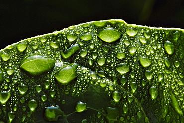 Hawaii, Big Island, Raindrops on Monsterra leaf.