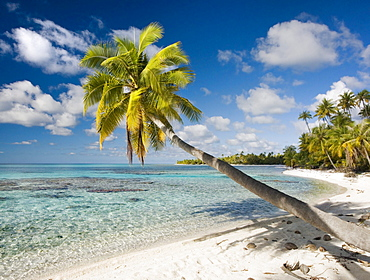 French Polynesia, Tahiti, Tuamotu Islands, Rangiora, Palm tree on the beach.