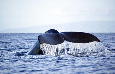 Hawaii, Maui, Humpback whale fluking its tail.