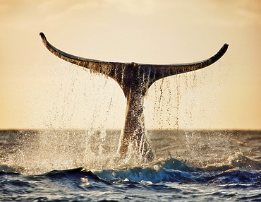 Hawaii, Maui, Humpback whale fluking its tail in golden sunset.