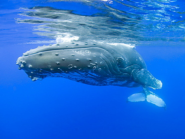 Hawaii, Maui, Close-up of Humpback whale near the oceans surface.