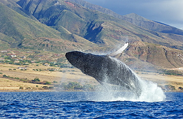 Hawaii, Maui, Humpback whale breaching with island in the background.