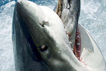 Mexico, Guadalupe Island, Great White Shark (Carcharodon carcharias) biting down on bait above ocean surface.