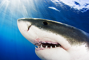 Mexico, Great White Shark (Carcharodon carcharias), Close-up of face.