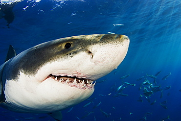 Mexico, Guadalupe Island, Great White Shark (Carcharodon carcharias), Close-up of head.