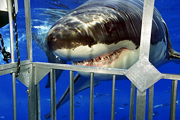 Mexico, Guadalupe Island, Great white Shark (Carcharodon carcharias) facing steel cage.