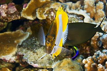 Hawaii, Pyramid Butterflyfish (hemitaurichthys polylepis) above coral.