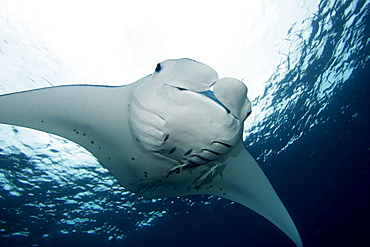 Micronesia, Palau, Manta ray (manta birostris) near ocean surface.