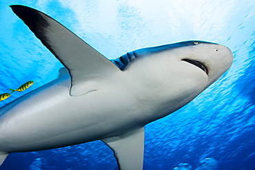 Micronesia, Yap, Yellow juvenile jacks swim with a grey reef shark, (Carcharhinus amblyrhynchos).
