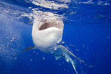 Hawaii, This galapagos shark (Carcharhinus galapagensis) can reach twelve feet in length and is listed as potentially dangerous.  It has been attracted with bait and has broken the surface with a splash.