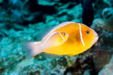 Hawaii, Bright orange anemone fish swimming with new baby near bright blue green coral reef.