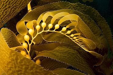 California, Giant kelp frond showing pneumatocysts (Macrocystis pyrifera) Catalina Island, Channel Islands National Marine Sanctuary.