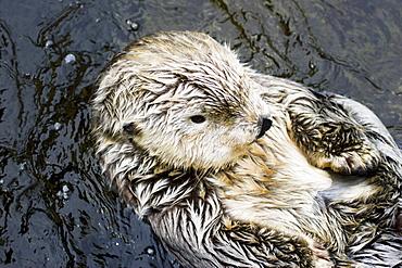California, Monterey, California sea otter (Enhydra lutris).
