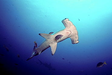 Galapagos Islands, A hogfish cleaning a scalloped hammerhead shark (Sphyrna lewini).