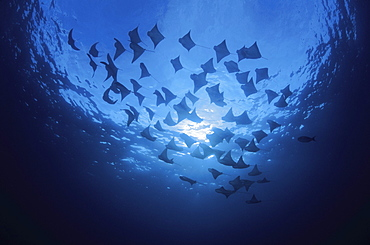 Galapagos Islands, This is but a small portion of a huge school of cownose rays (Rhinoptera steindachneri) that circled this dive site several times.