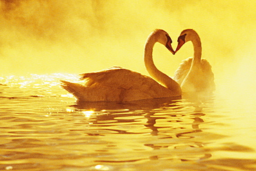 View of two african swans, misty sunset, romantic setting, heads together ina heart shape.