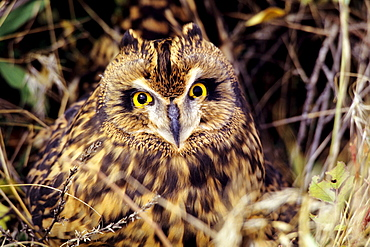 Colorado, Front Range, Short-eared Owl (Asio flammeus).