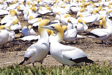 New Zealand, Cape Kidnappers, Colony of Australasian Gannet (Sula serrator).
