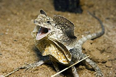 Australia, The threat display of the frilled lizard (Chlamydosaurus kingii).