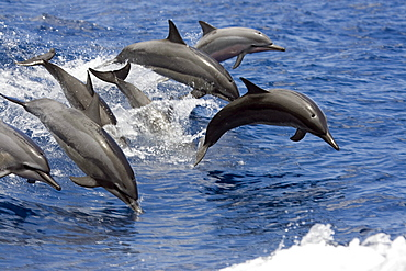 Hawaii, Seven spinner dolphin (Stenella longirostris) leap into the air at the same time.