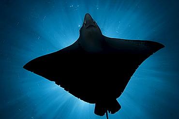 Micronesia, Palau, Spotted eagle ray (Aetobatus narinari), silhouette from below.