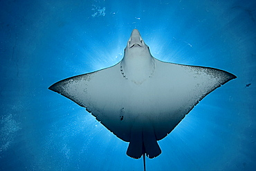 Micronesia, Palau, Spotted eagle ray (Aetobatus narinari), view from below, light coming from behind.