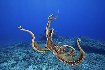 Hawaii, Day octopus (Octopus cyanea) tentacles outstretched over reef.