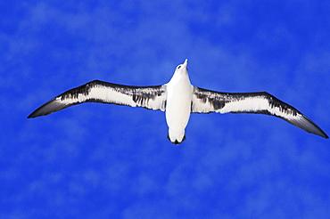 Midway Atoll, Laysan albatross (Diomedea immutabilis) in flight, blue sky, view from below.
