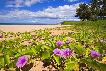Hawaii, Maui, Kihei, Keawakapu Beach, Green leafy vines with pink flowers on shore.
