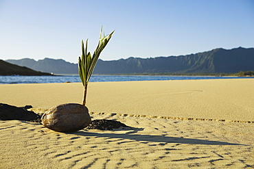 Hawaii, Oahu, Windward, Closeup of coconut sprouting on sandy beach, ocean and Koolau mountains in background.