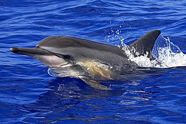 Hawaii, Big Island, Kona, Spinner dolphin (stenella longirostris) at surface.