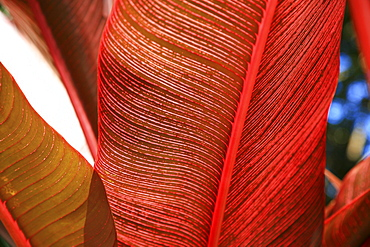 Detailed view of a pink-striped Heliconia Indica leaf.