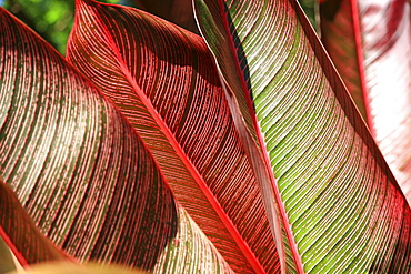 Detailed view of a pink-striped Heliconia Indica leaves.