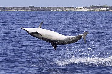Hawaii, Big Island, Kona, Hawaiian long-snouted spinner Dolphin (Stenella longirostris) leaping in the air.