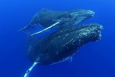 Hawaii, Humpback Whale (Megaptera novaeangliae) mother and calf, megaptera novaeangliae